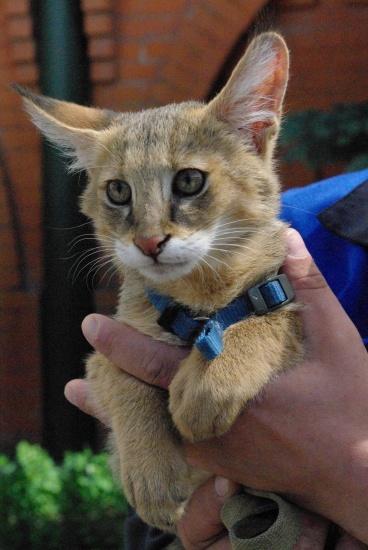 В продаже камышовые котята и алк-домашнего разведения89879560680