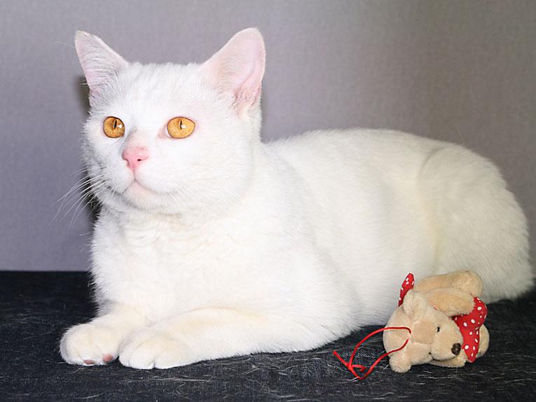 Шикарный белый кот Тихон в добрые руки