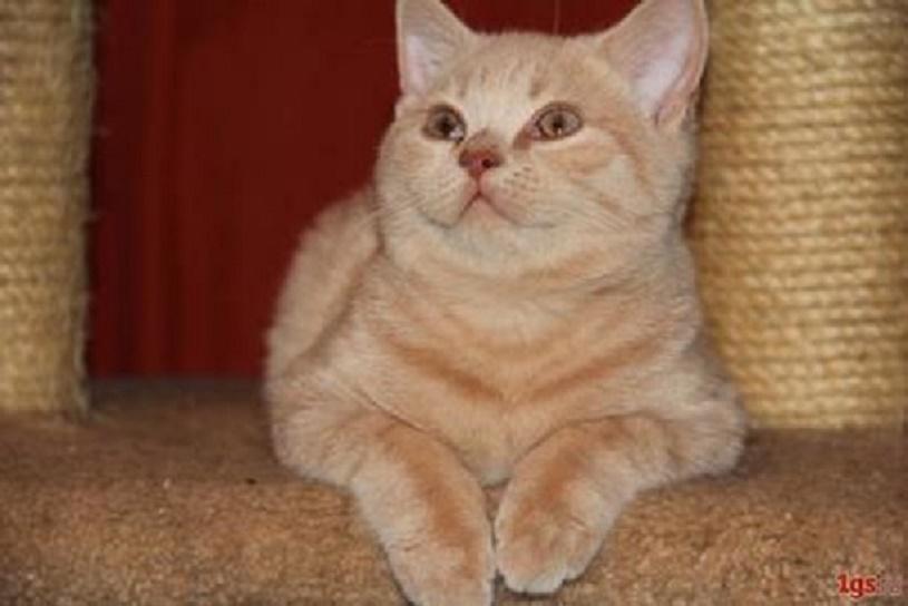 Клубные  красные британские котята