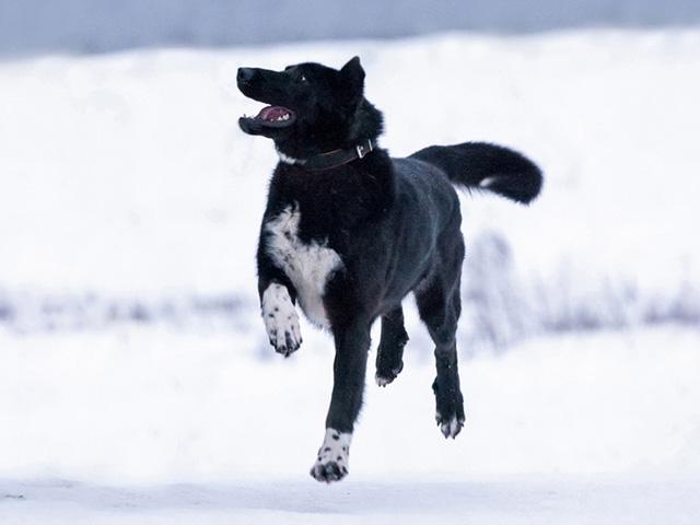 Великолепный Рэмбо, крупный, очень добрый пес в добрые руки