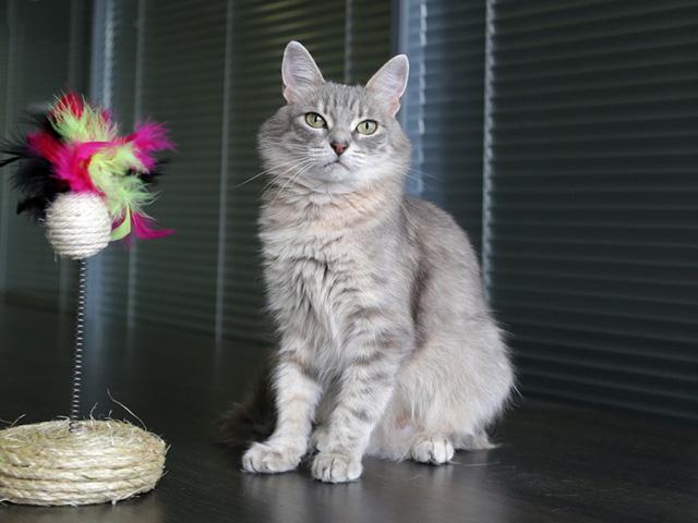 Молодая домашняя кошечка Полли, серо-дымчатое счастье в добрые руки