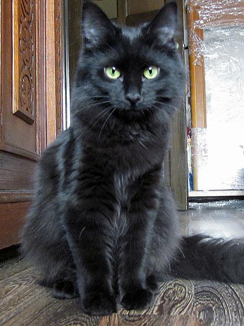 Черная жемчужина Ухура, роскошная сибирская домашняя кошечка в добрые руки