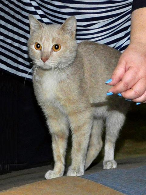 Желтоглазый красавчик Янтарь, молодой домашний котик в добрые руки