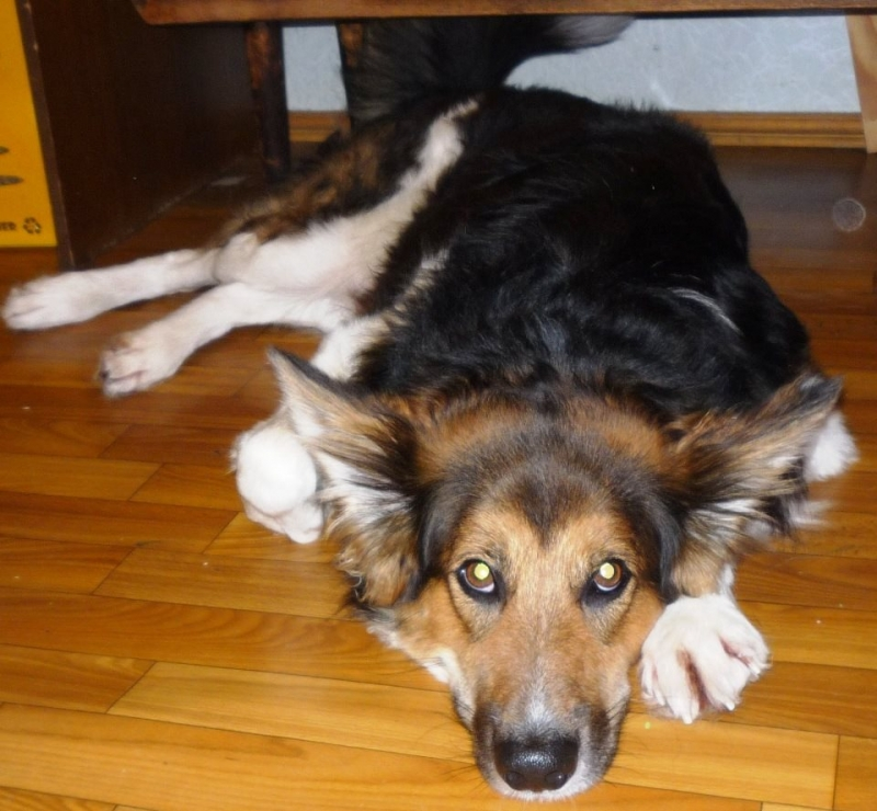 Молодой красивый пес Форс ищет новую семью в дар