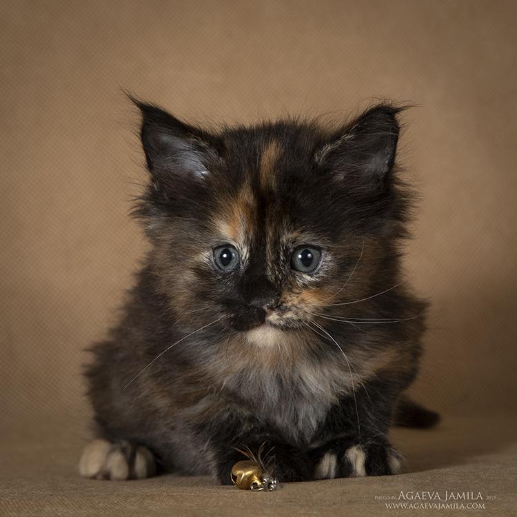 Мейн-кун котята - на любой вкус и цвет
