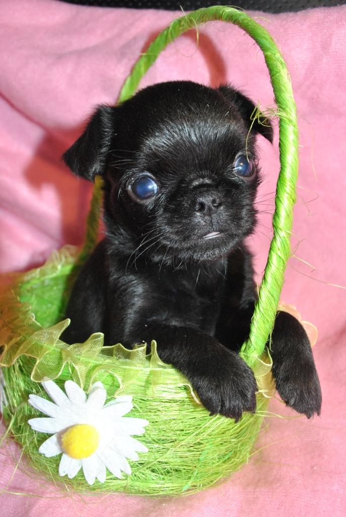 Пти брабансон щенок мини девочка