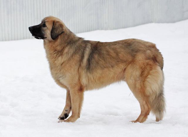 Медвежонок Бим, очень добрый, воспитанный пес ищет дом и доброе сердце