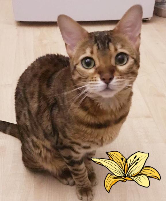 Красивая бенгальская кошечка Чудо в дар