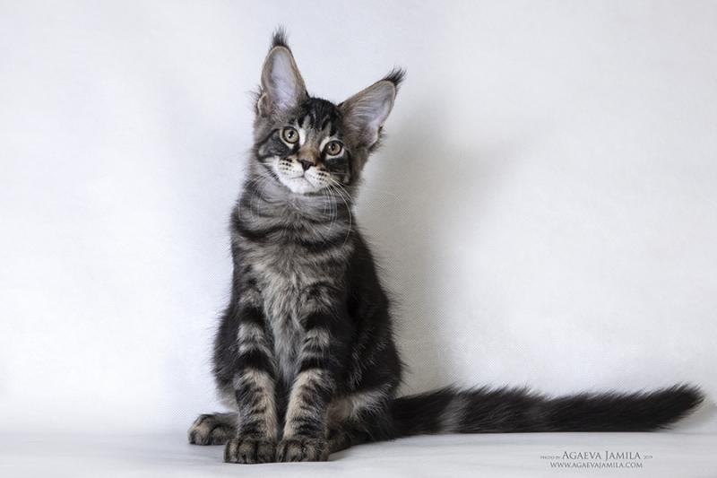 Мейн-кун котэ - настоящий мачо