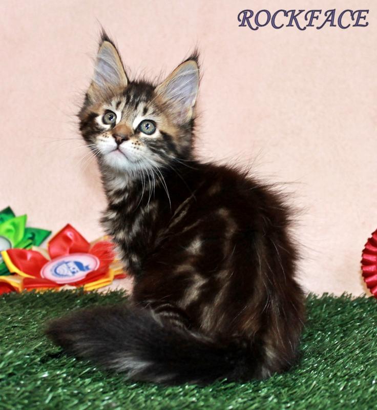 Котята мейн-кун от титулованных родителей