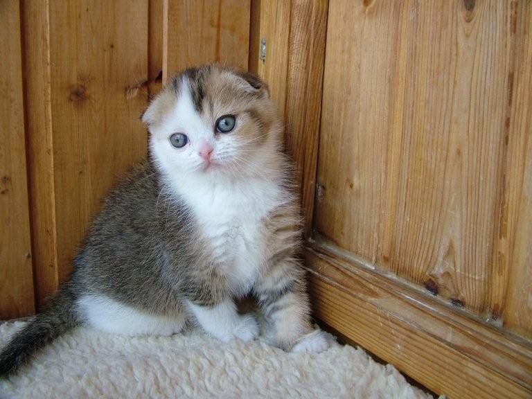 Восхитительные шотландские котята