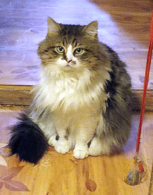 Домашний котик Тишка в добрые руки