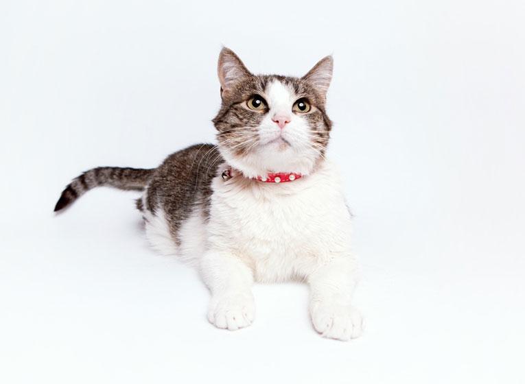 Клеопатра  шикарная кошка для истинных ценителей в дар