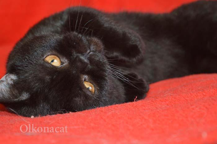 В добрые руки котик черный шотландский прямоухий.
