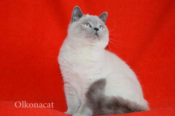 Шотландские  котята-подростки блю-поинт окраса.