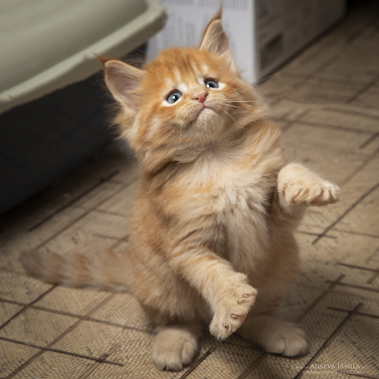 Мейн-кун котята из питомника гарантии