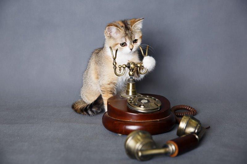 Совершенно летние шотландские котята