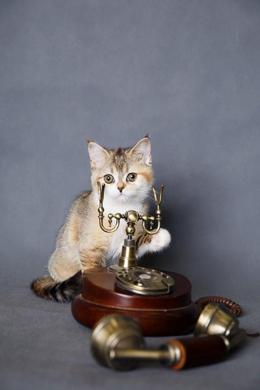 Самые лучшие шотландские котята