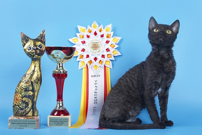 порода кошек уральский рекс