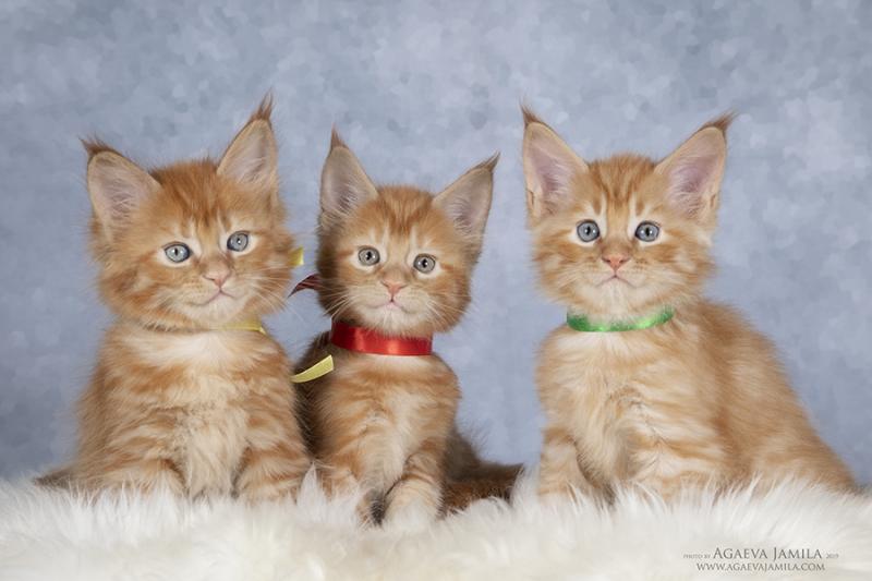 Мейн-кун котята - трио бандуристов