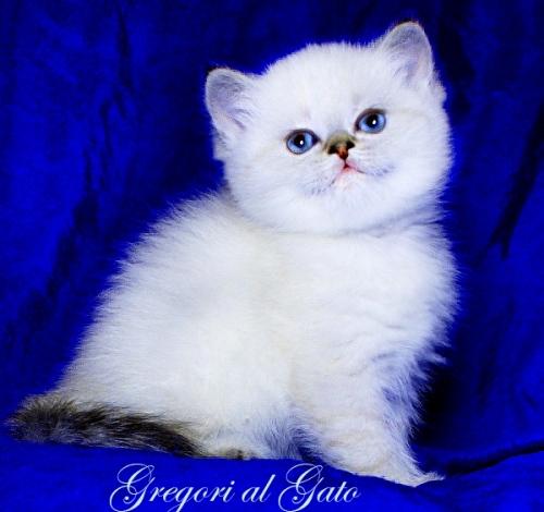 Эксклюзивные британские голубоглазые котята серебристые и золотые шиншиллы
