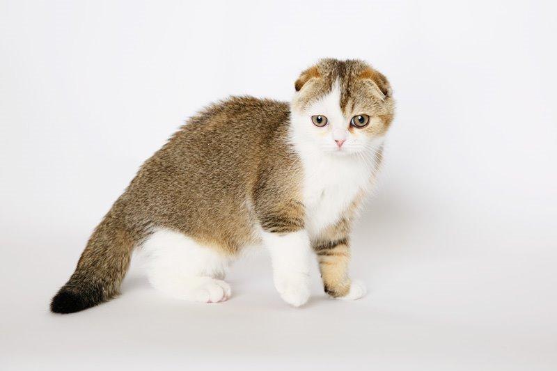 Бесподобные шотландские котята безупречных породных качеств