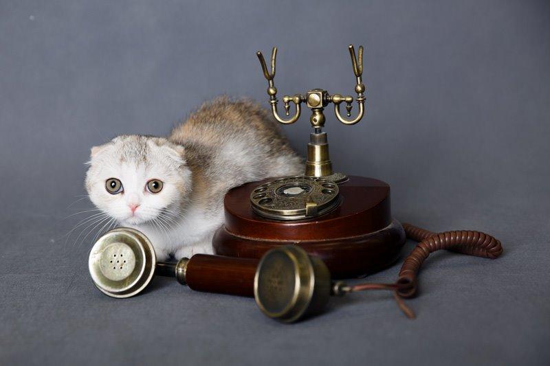 Отличные столичные шотландские котята