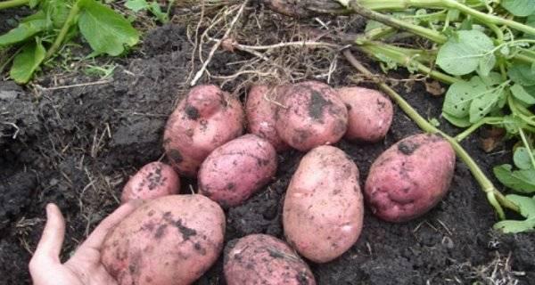картофель оптом