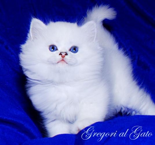 Роскошный белоснежный голубоглазый Хайлендер