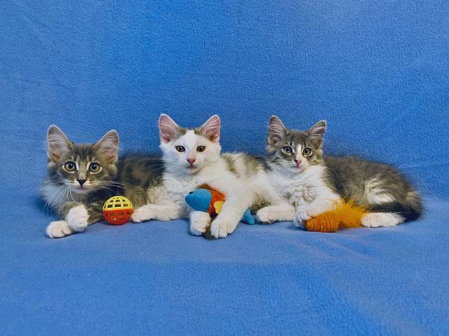 Домашние котята-малыши Кузя, Ника и Мика в добрые руки