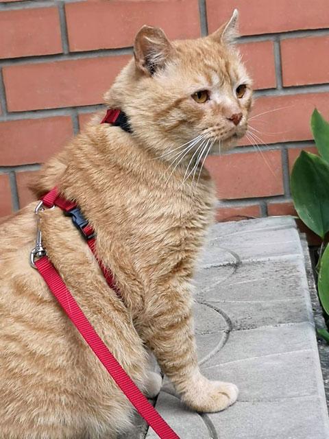 Хорошего кота должно быть много Очень крупный рыжий котик Арнольд в добрые руки