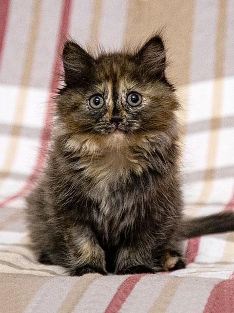 Инопланетянка Улька, домашний трехцветный котенок в добрые руки