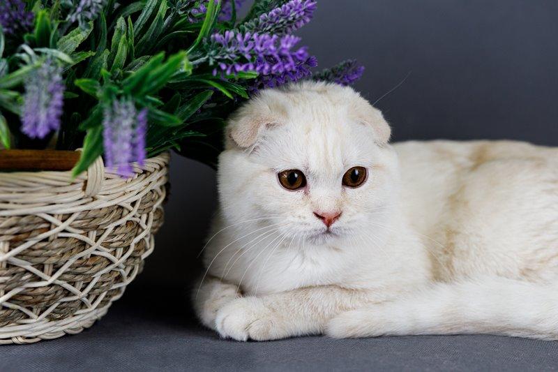 Безупречные шотландские котята из питомника