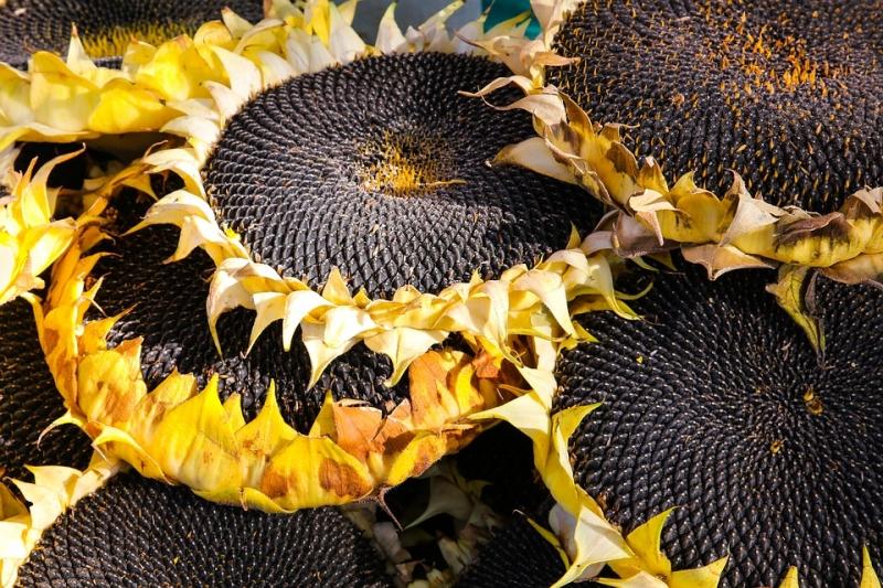 Семена подсолнечника гибриды высокомасличные, высокоолеиновые, раннеспелые