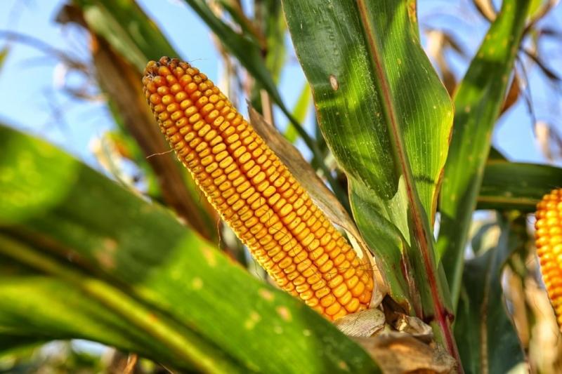 Семена кукурузы на посевную 2020