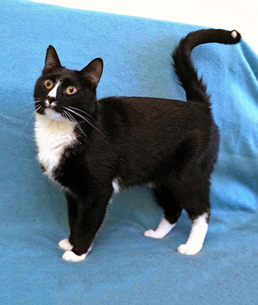 Красавец Том, молодой очень добрый котик в добрые руки