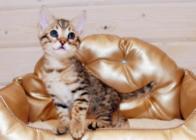 Котята породы саванна ф5
