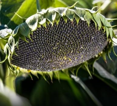 Семена подсолнечника среднеспелый сорт Мастер