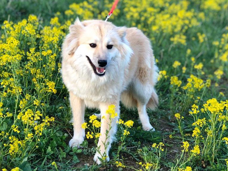 Очень красивая и ласковая собачка Лиска в добрые руки. Вес всего 12 кг