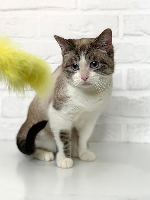 Красавица Хайди, молодая кошечка, метис сиамской кошки в добрые руки