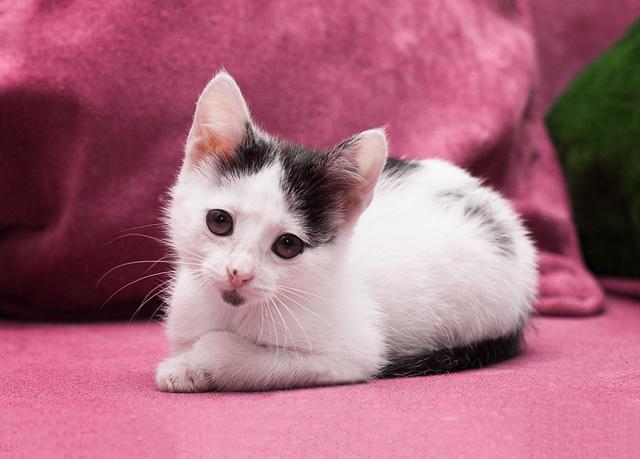 Крошка с ладошку, бесподобный домашний котенок Ася в добрые руки