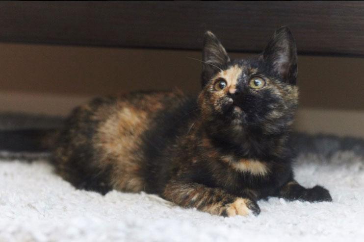 Котенок-мурчалка Глаша в дар. 3 месяца