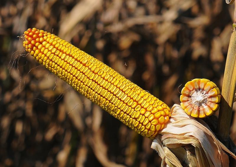 Семена кукурузы