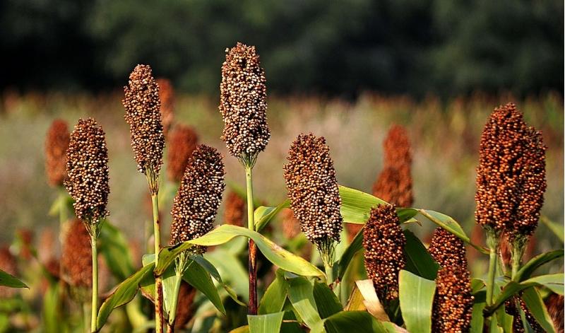 Семена сорго на посевную 2021