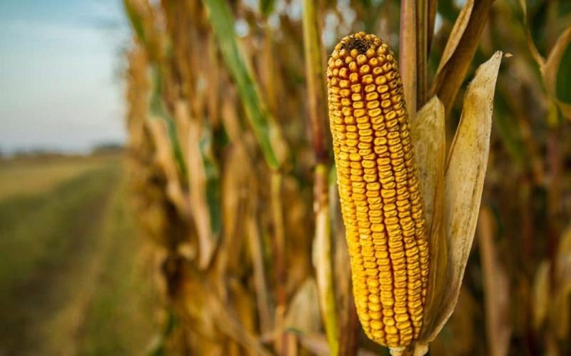 Семена яровых культур кукурузы, гороха и сои